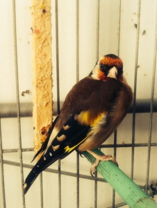 Mackneen, The Algerian Goldfinch